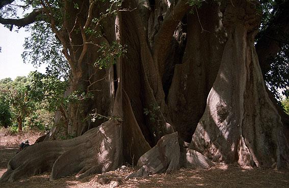 >>>>árboles Sagrados<<<< 57374012